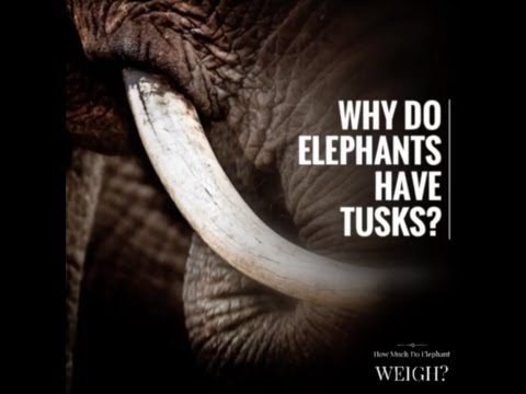 Why do elephants have tusks?