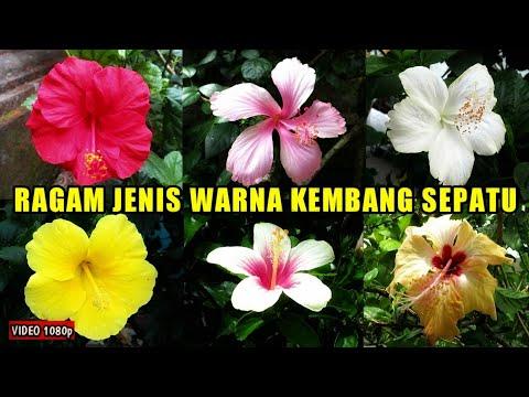 6 Jenis Warna Kembang Sepatu Hibiscus Rosa Sinensis L Youtube