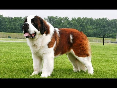 Tips For Owners Of Large Breed Dogs