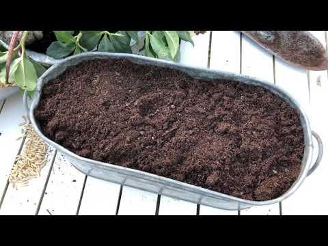 Odla själv supernyttigt vetegräs och havregräs inomhus -så här driver du upp det extra snabbt!