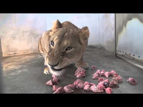 ライオン食事
