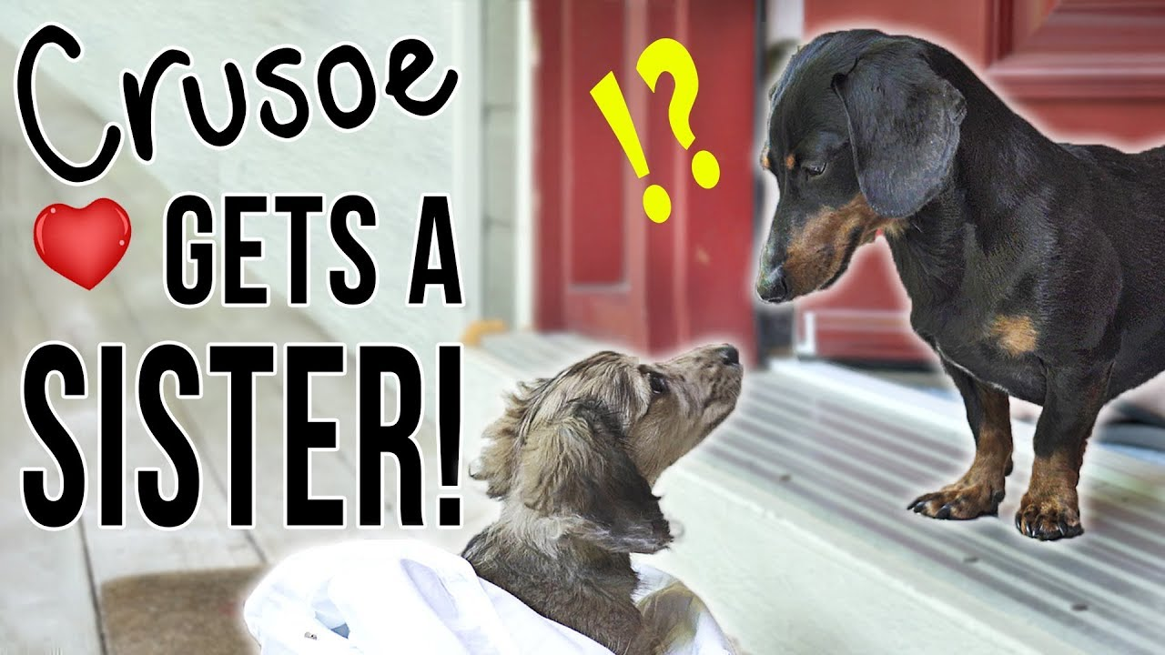 Download Ep #1: Crusoe Gets a SISTER! - (Cute Dachshund Puppy Video!)