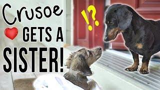 Ep #1: Crusoe Gets a SISTER!  (Cute Dachshund Puppy Video!)