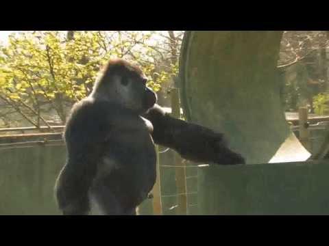 SFLBigfoot.com  Gorilla Stands and walks bipedal.