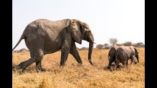 Chaminuka's Baby Elephants Meet Their New Mother, Kachele