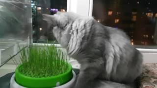 Мой сибирский кот Енисей