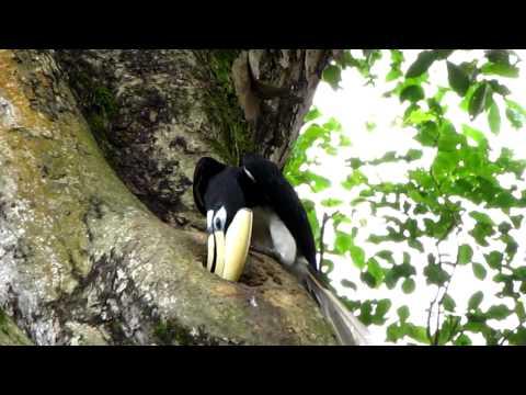Oriental Pied Hornbill Nest 1