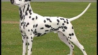 Dalmatians Dogs Breeds