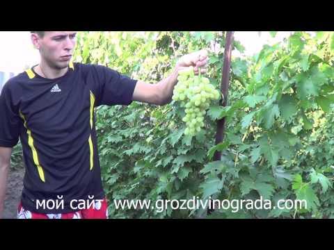Сорт винограда Гурман лакомка Мой виноградник