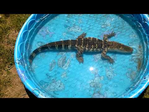 Allie, 4 foot Alligator, swimming in a baby pool. He takes up most of