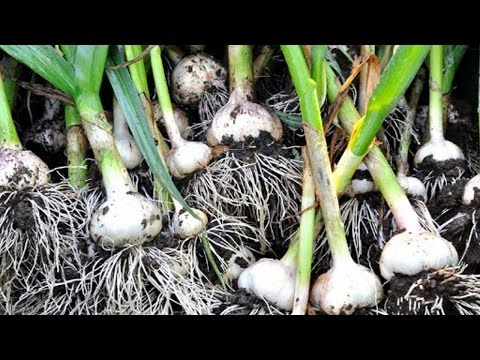 Curso Cultivo Orgânico de Alho - Princípio da Agricultura Orgânica