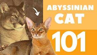 The Abyssinian Cat 101 : Breed & Personality