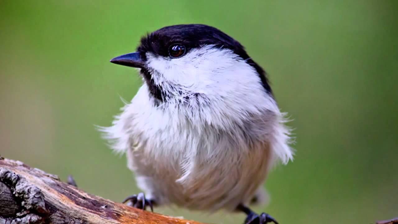 Звуки Природы.  Пение птиц - Буроголовая Гаичка -  Звуки птиц.