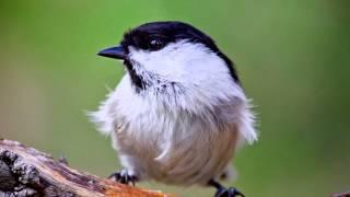 звуки Природы.  Пение птиц - Буроголовая Гаичка -  Звуки птиц