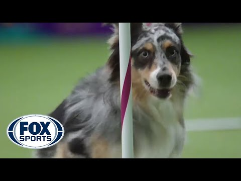 Watch Australian Shepherd, Holster, Win 2016 Masters Agility Championship | FOX SPORTS