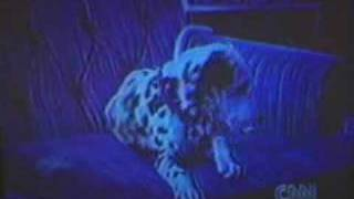 Deaf Dalmatian Understand American Sign Language