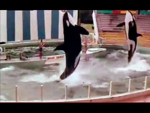 1976 Hugo Y Lolita, Las Orcas Asesinas -  Hugo & Lolita The Killer Whales Miami Seaquarium Orca