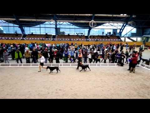 Выступление Кане Корсо на выставке собак.