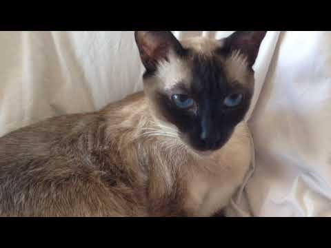 Siamese Cats ❤️