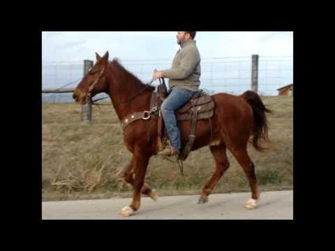 SORREL KENTUCKY MOUNTAIN GELDING, BUILT LIKE A QUARTER HORSE, SMOOTH GAITED