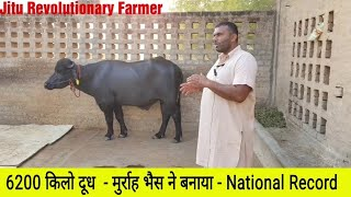 👍MURRAH NATIONAL Milk RECORD 6200 Kg in a SINGLE LACTATION. #FAT 95% @ Hissar👍