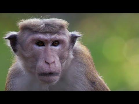Macaque War: Battlefield | BBC Earth