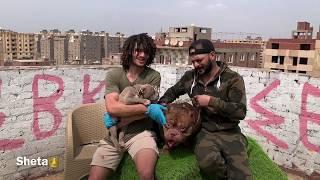 اقوي مزرعة امريكن بولي ف مصر(سلسلة مزارع الكلاب 3)