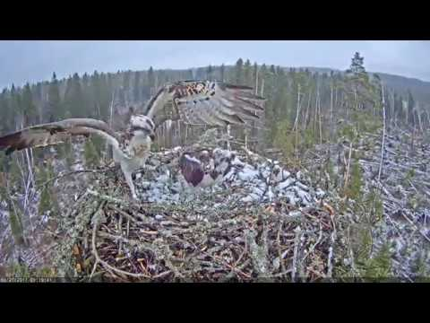 Several moments of the Osprey's nest construction. Estonia.