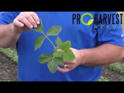 How to determine growth stages in soybeans