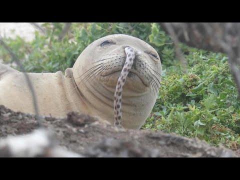 【生き物特集】鼻にウナギささったアザラシ見つかる、鼻うがいでアメーバに脳を食われた女性 - トモニュース