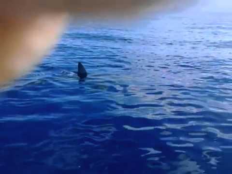 Great White Shark - Kaena Point North Shore Oahu Hawaii - video by local Fishermen 1-12-2012