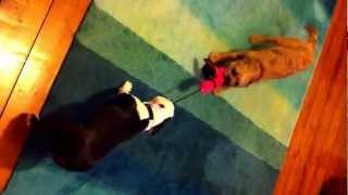 Boston Terrier (lola) Vs Border Terrier (harvey) In Tug Of War