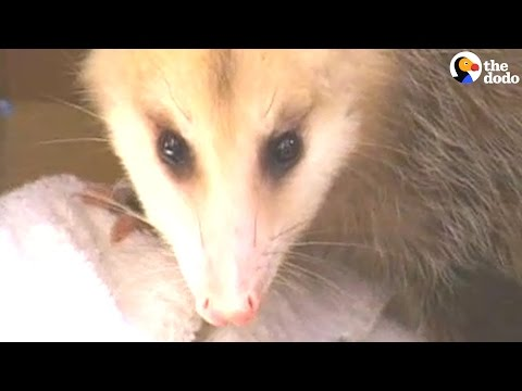Opossum Gets A Little Lost In A School
