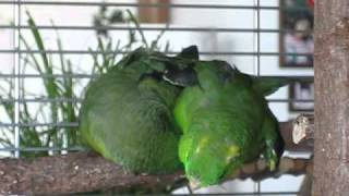 Baixar Lineolated Parakeets holding hands ♥♥♥