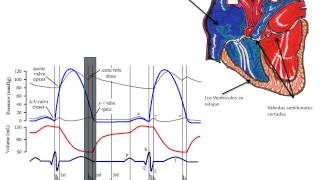 Ciclo Cardiaco (Fases)