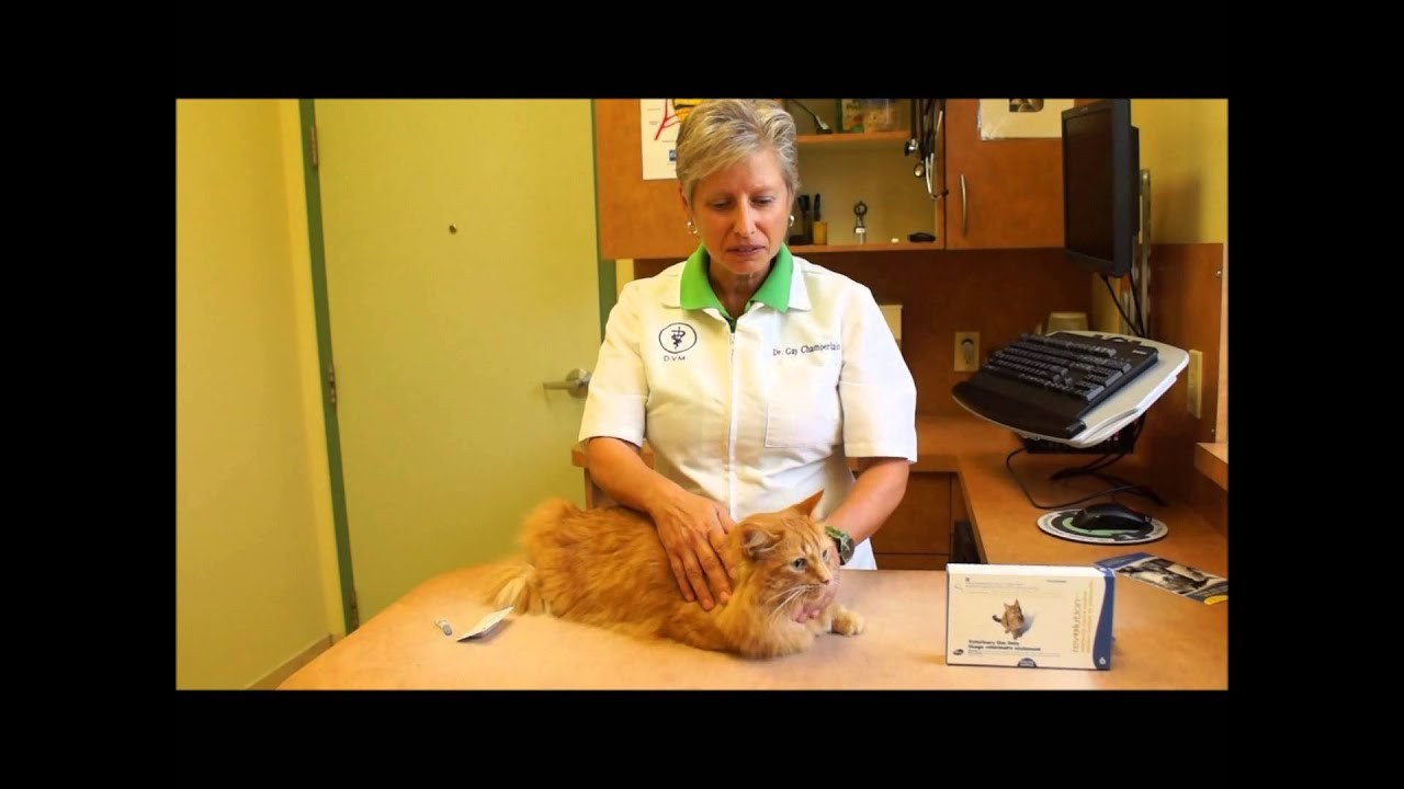 Flea Treatment For Cats How To Apply Revolution For Cats Youtube