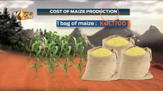 MAIZE GLUT DILEMMA: North Rift farmers cry foul over drop in prices amid oversupply
