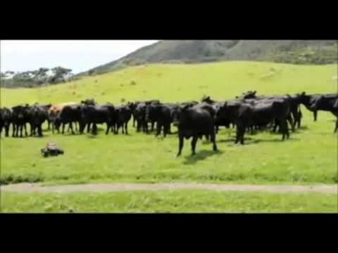 Смешная озвучка коровы!!!