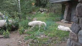 Wolves at the Intl Wolf Center in Ely MN - Superior National Forest