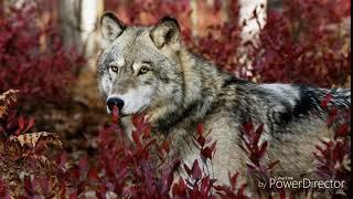 Альбина- не со мной клип волки