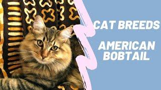 AMERICAN BOBTAIL  CAT BREEDS