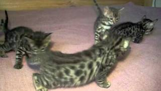 Бенгальские котята - BENGAL KITTENS for SALE- http://www.bensun.ru