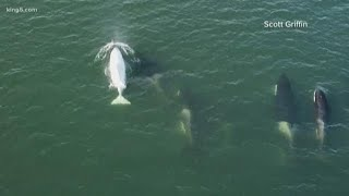 Rare white orca spotted in Puget Sound