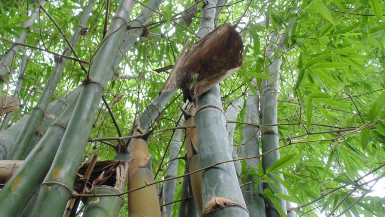GREEN BAMBOO NURSERY JABALPUR :: greenbamboonursery com, Green