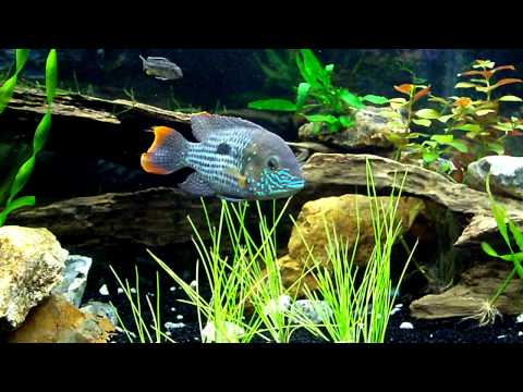 Decor Aquarium Cichlid Ef Bf Bds Americain