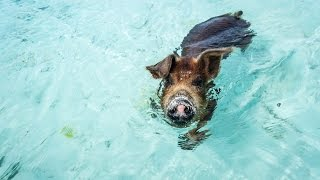 Silly Sailors & the Swimming Pigs Scandal Exuma Bahamas (Sailing Curiosity)