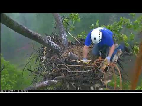 4/21/17.. AEF/DC Eagle Cam ~ The Eaglet Has Landed~ Welcome Home DC 4