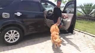 Anjing Golden Retriever Berwisata Air
