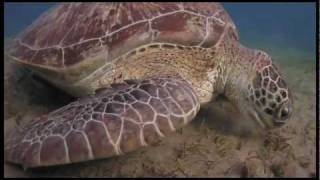 Giant Green Sea Turtles