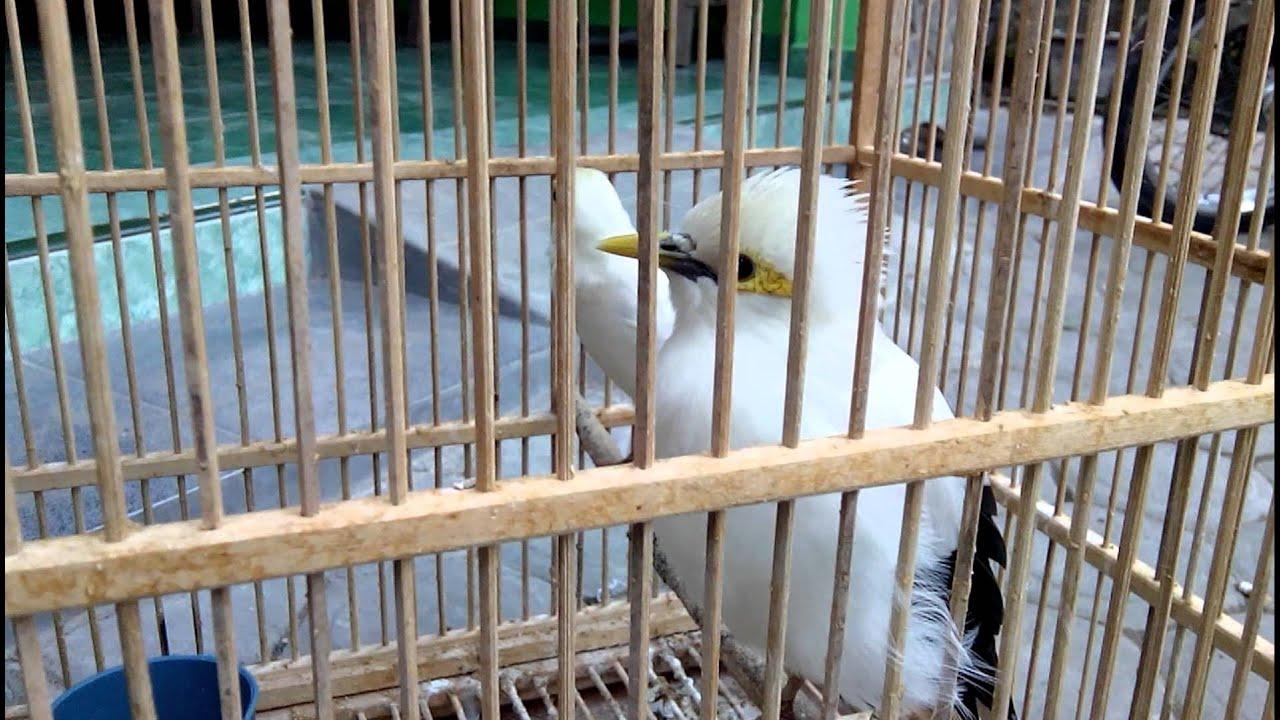 Jual Beli Burung Love Bird